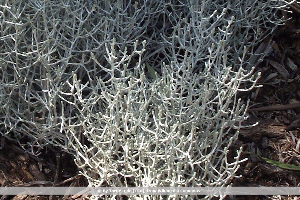 Silberdrahtpflanze, Leucophyta brownii
