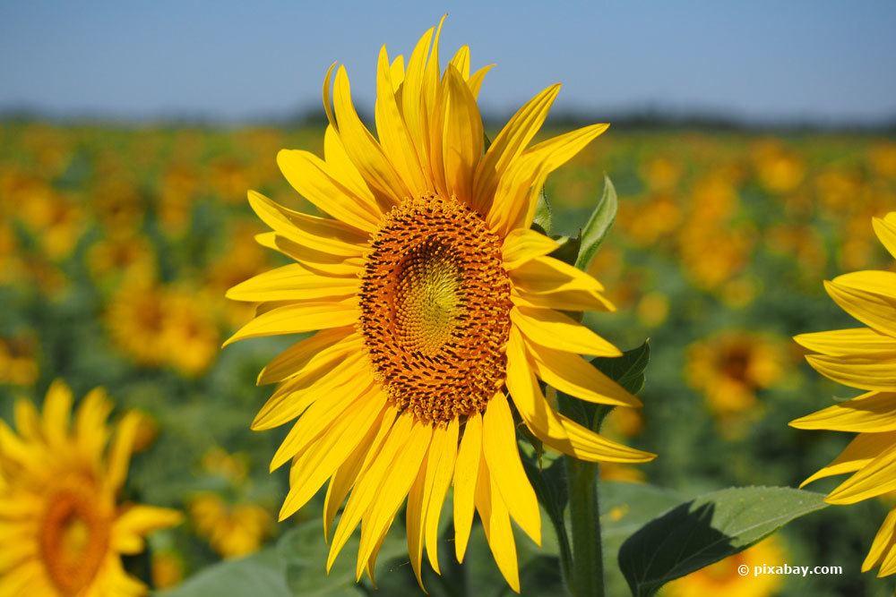 Sonnenblume, Helianthus annuus