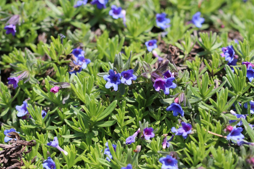 Steinsame Lithodora diffusa