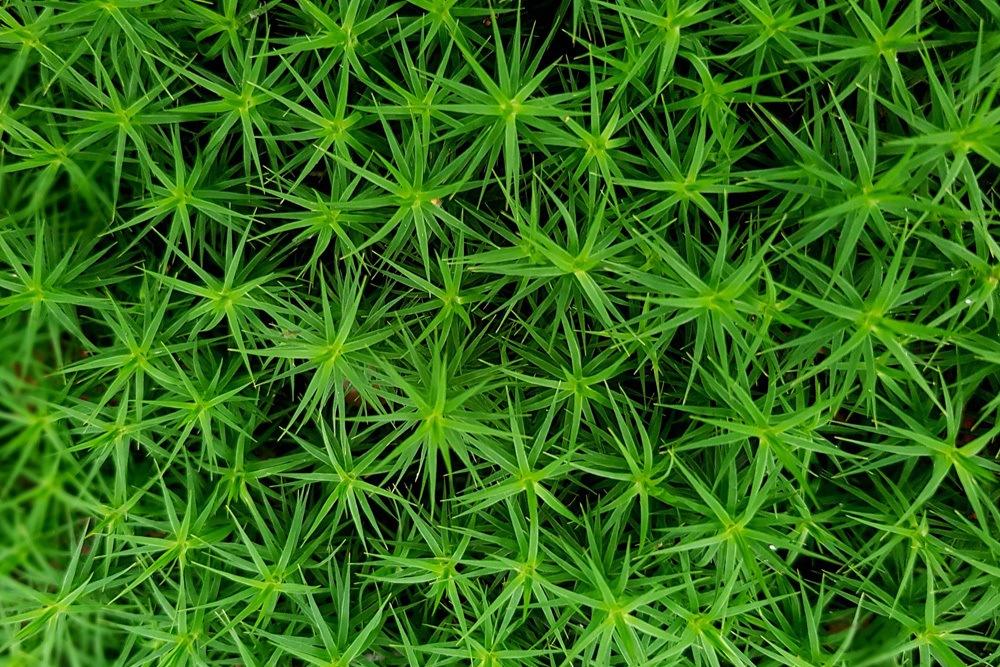 Sternmoos sehr grün