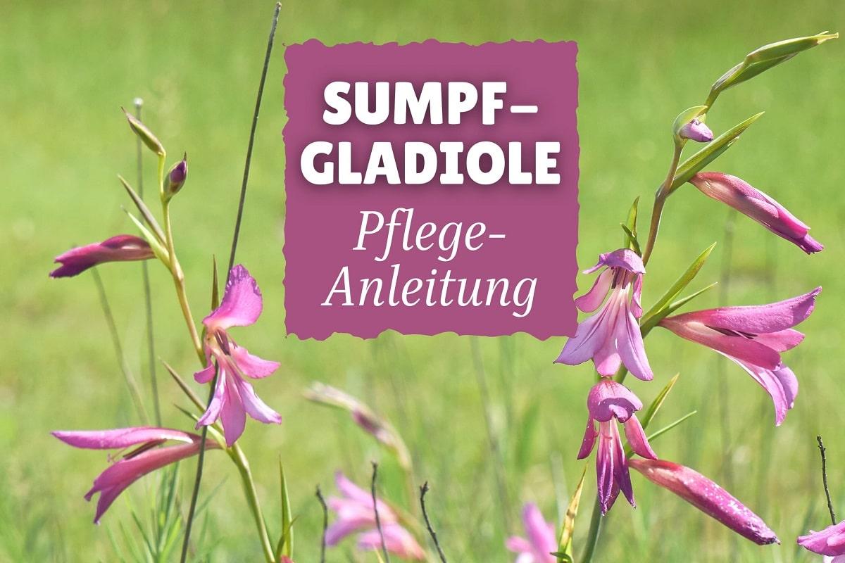 Sumpf-Gladiole (Gladiolus palustris)