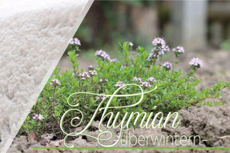 Thymian, Thymus