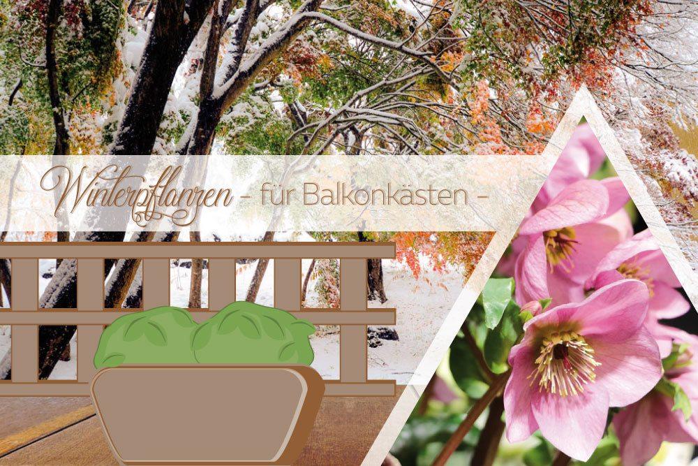 Winterpflanzen für Balkonkästen: 16 schöne Winterblumen für Balkone