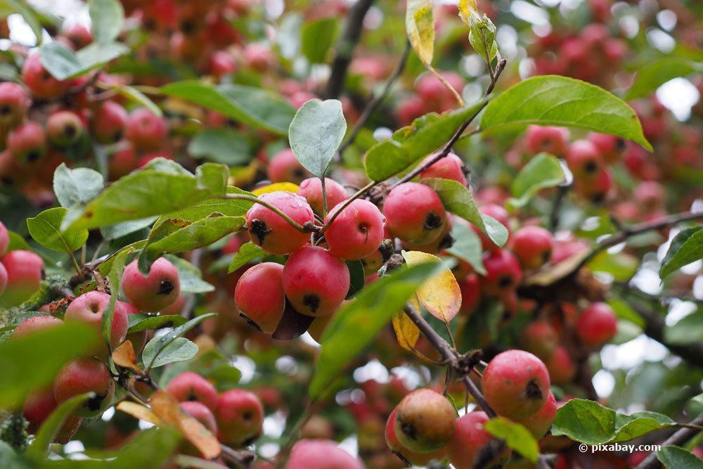 Zierapfel mit vielen Früchten