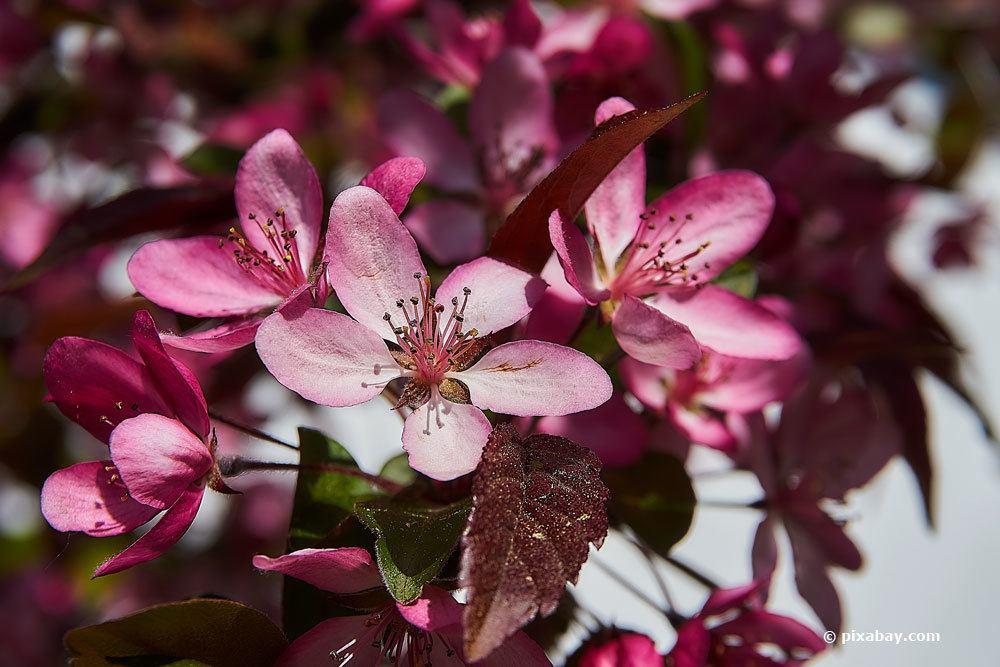 Blüten des Zierapfels