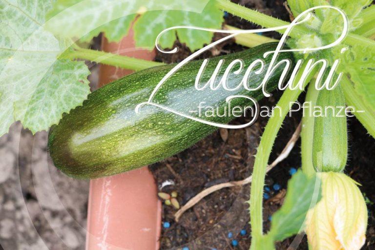 Zucchini faulen an der Pflanze