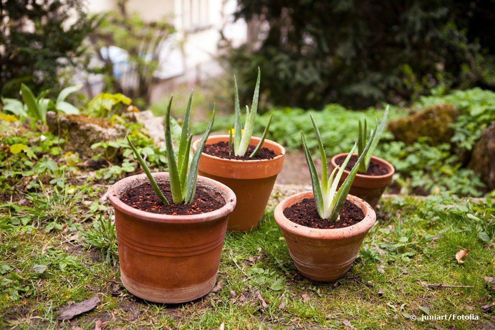 Aloe vera durch Kindel vermehren