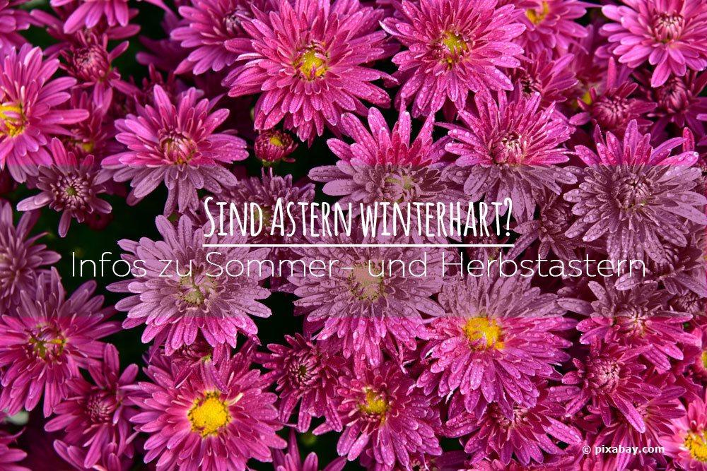 Sind Astern winterhart? Infos zu Sommer und Herbstastern ~ 01222243_Sukkulenten Winterhart Bilder
