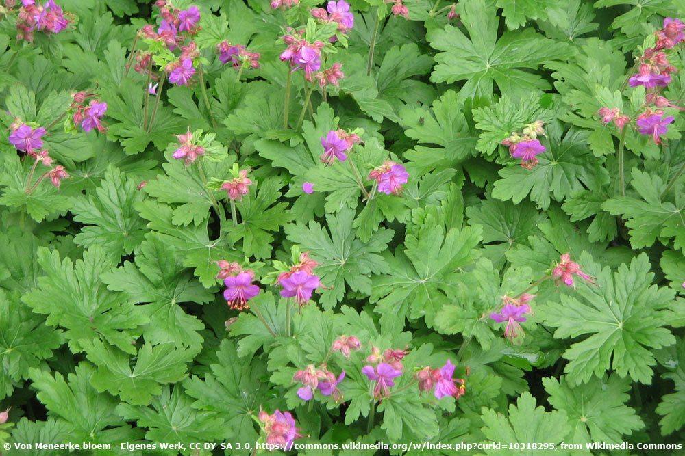 Balkan Storchschnabel, Geranium-macrorrhizum
