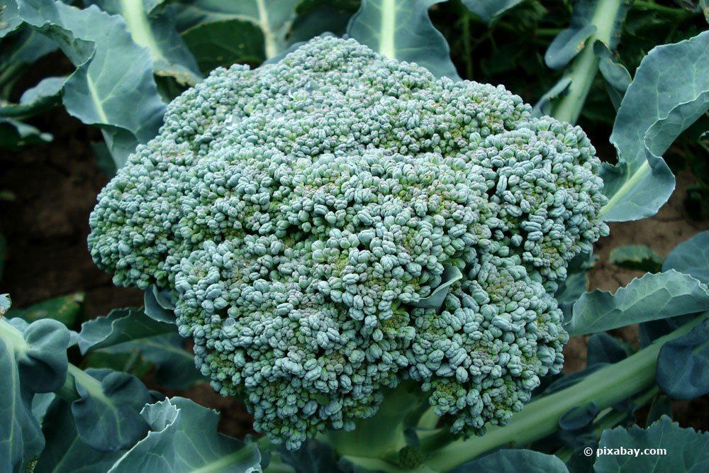 Brokkoli als Wintergemüse