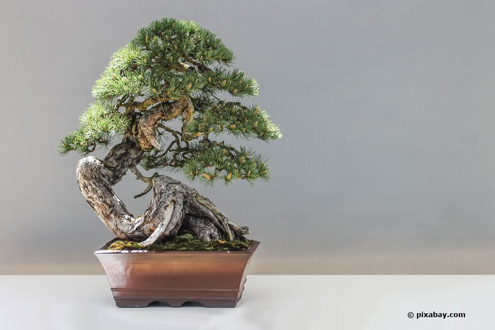 Kiefer als Bonsai