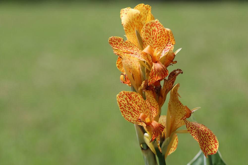 Canna Indica, Blumenrohr