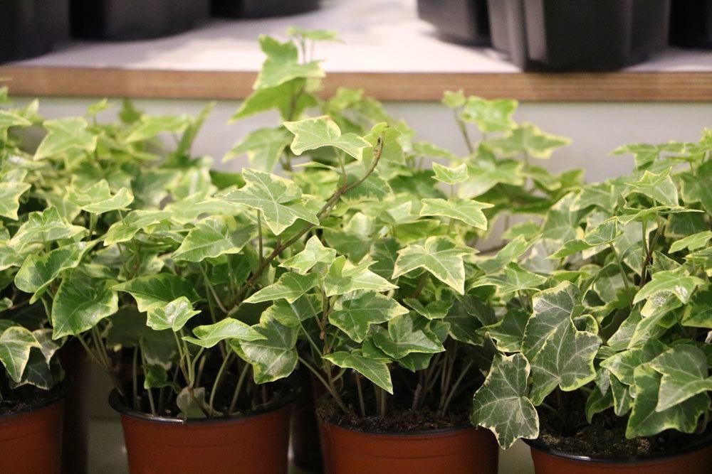 Gesunde Schlafzimmerpflanzen 18 Ideale Pflanzen Furs Schlafzimmer