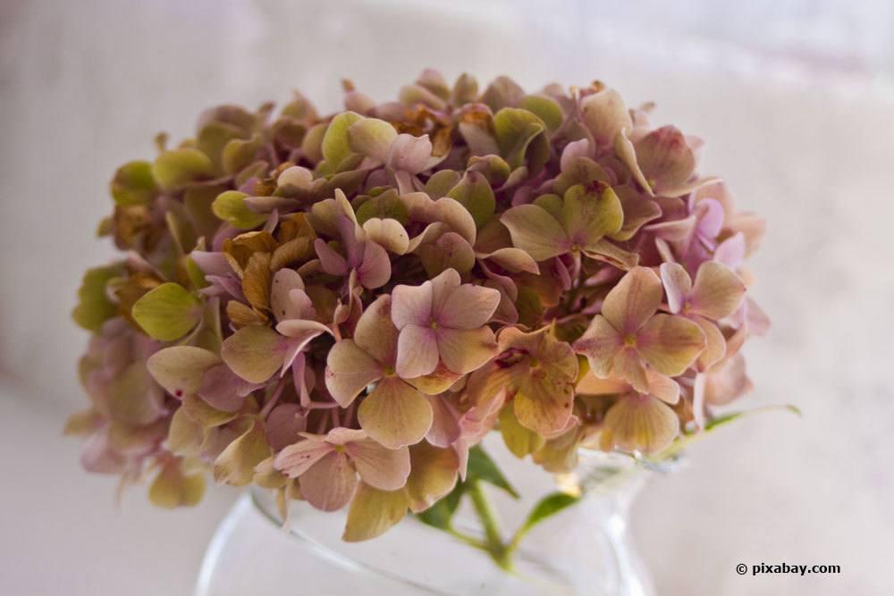 Abgeschnittene Hortensienblüten in eine Vase stellen