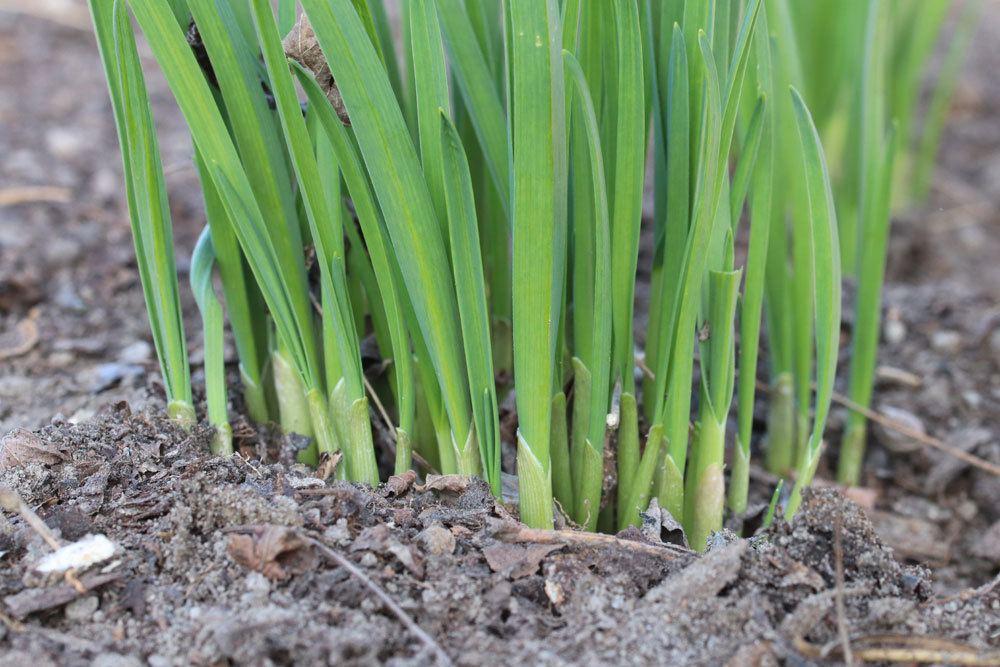 Knoblauchpflanze