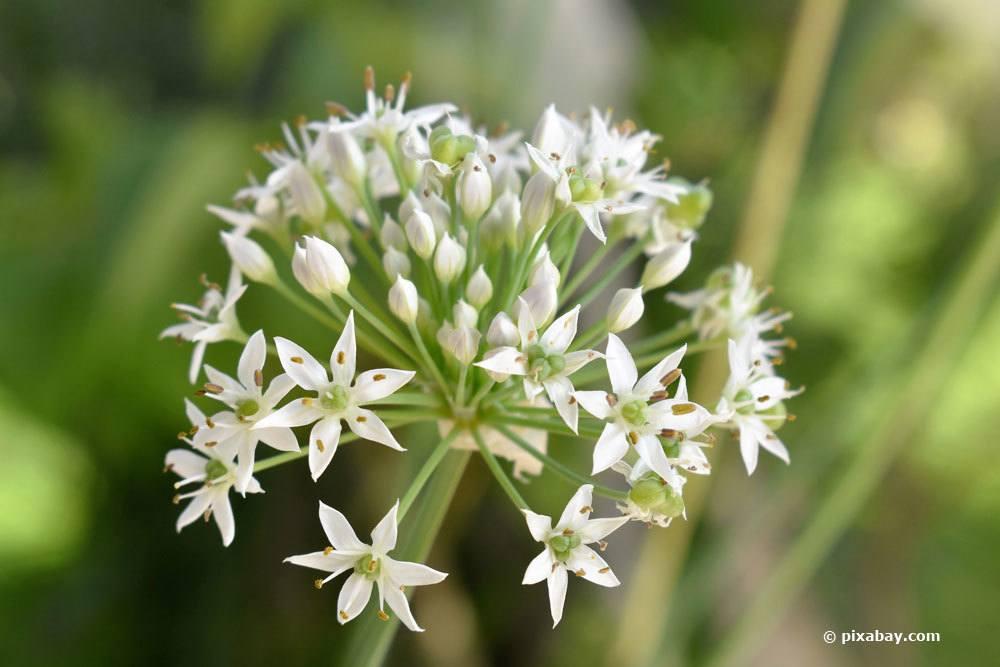 Blüte einer Knoblauchpflanze