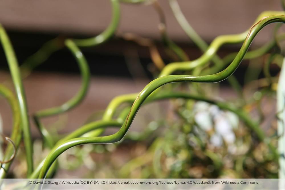 Liebeslocken Juncus Effusus Spiralis Halm