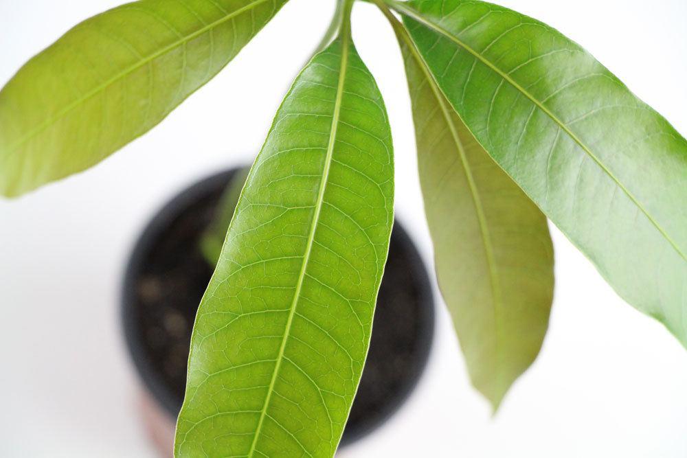 Mango-Pflanze