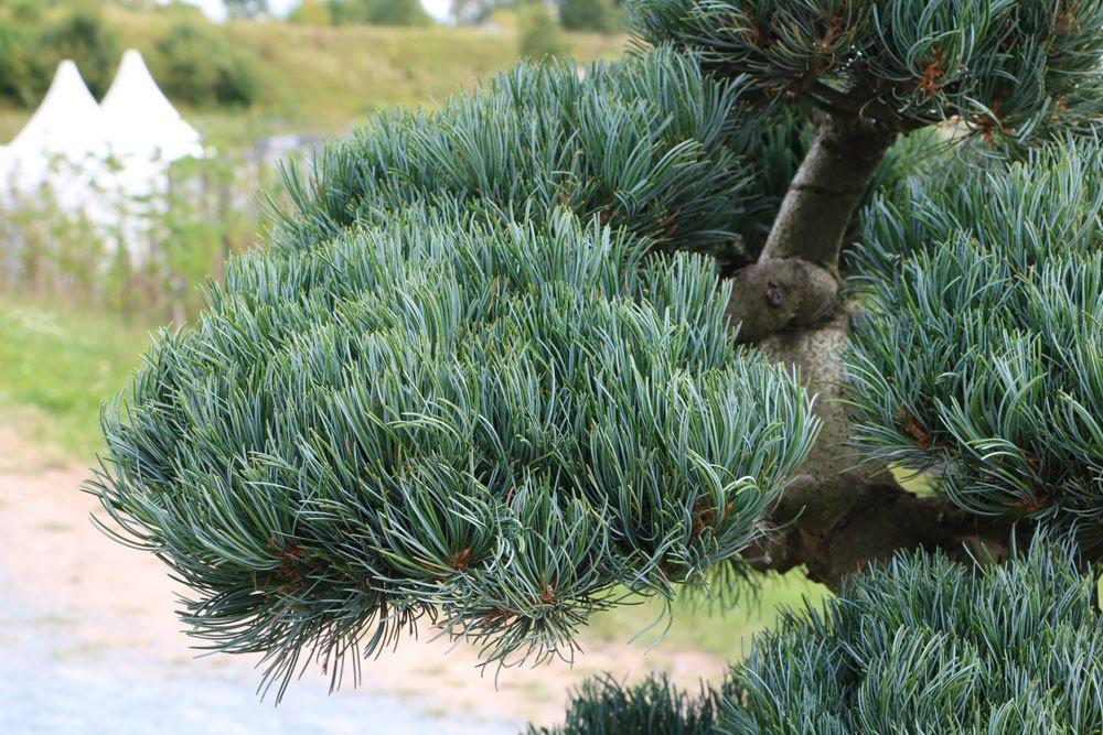 Pinus parviflora, Mädchenkiefer