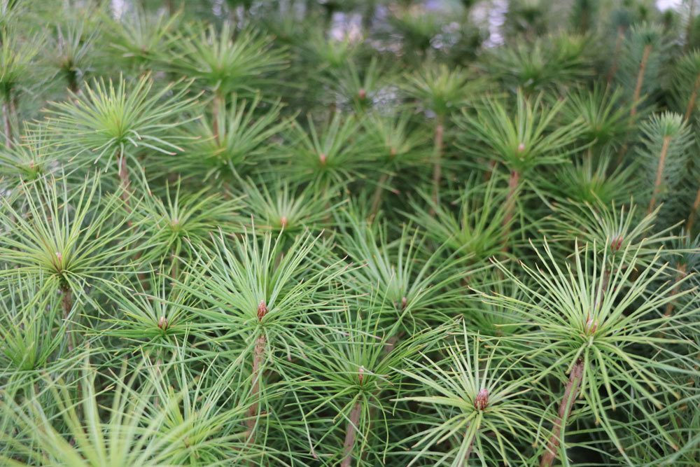 Pinus-sylvestris,-Waldkiefer