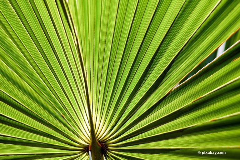 Sabal palmetto, Palmettopalme