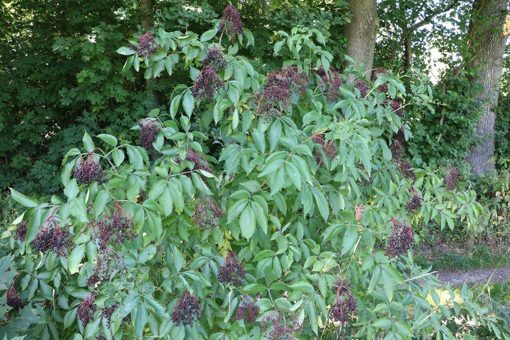 Sambucus nigra, Schwarzer Holunder, Fliederbeere