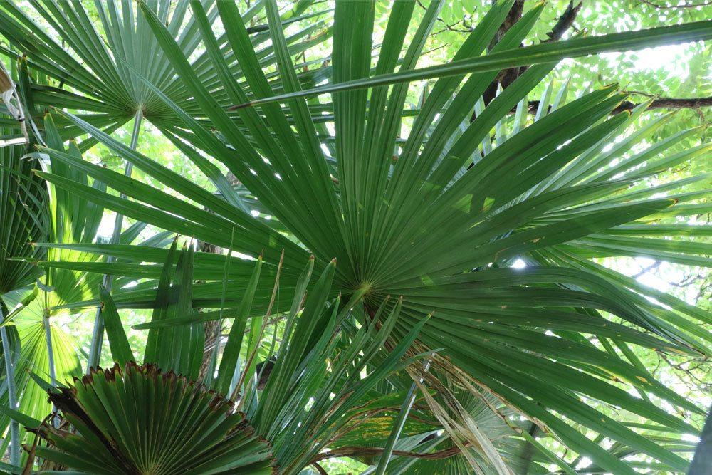 Trachycarpus-fortunei