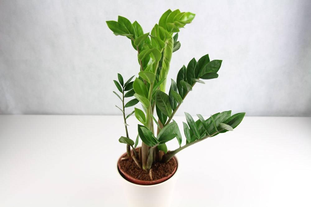 Zamioculcas zamiifolia, Glücksfeder, Zamie