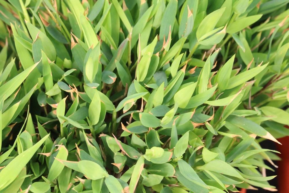 braune Blattspitzen am Bambus