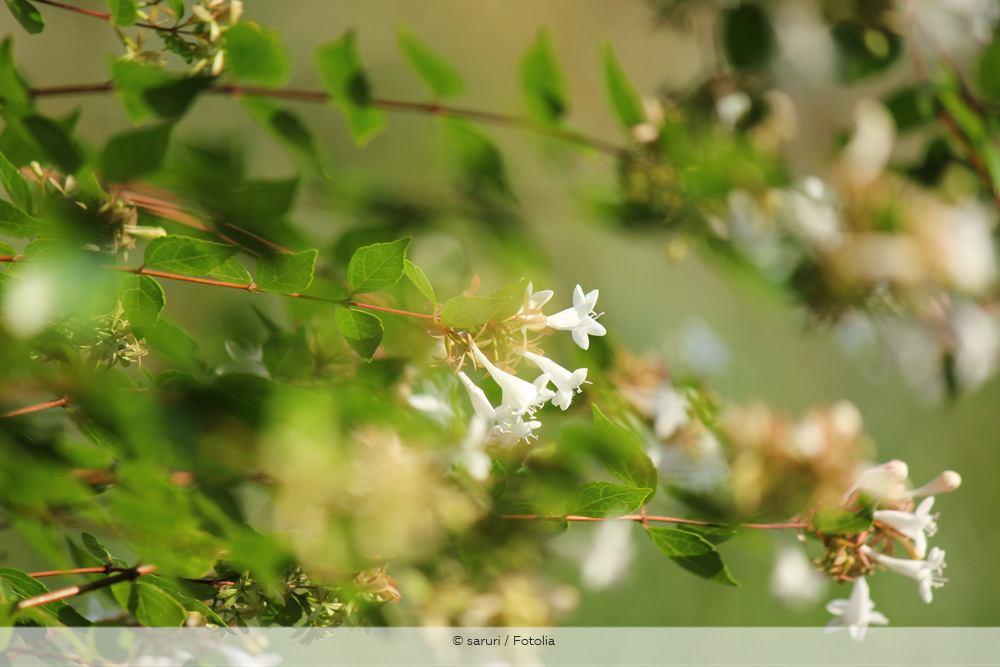 Abelie Abelia Grandiflora Triebe