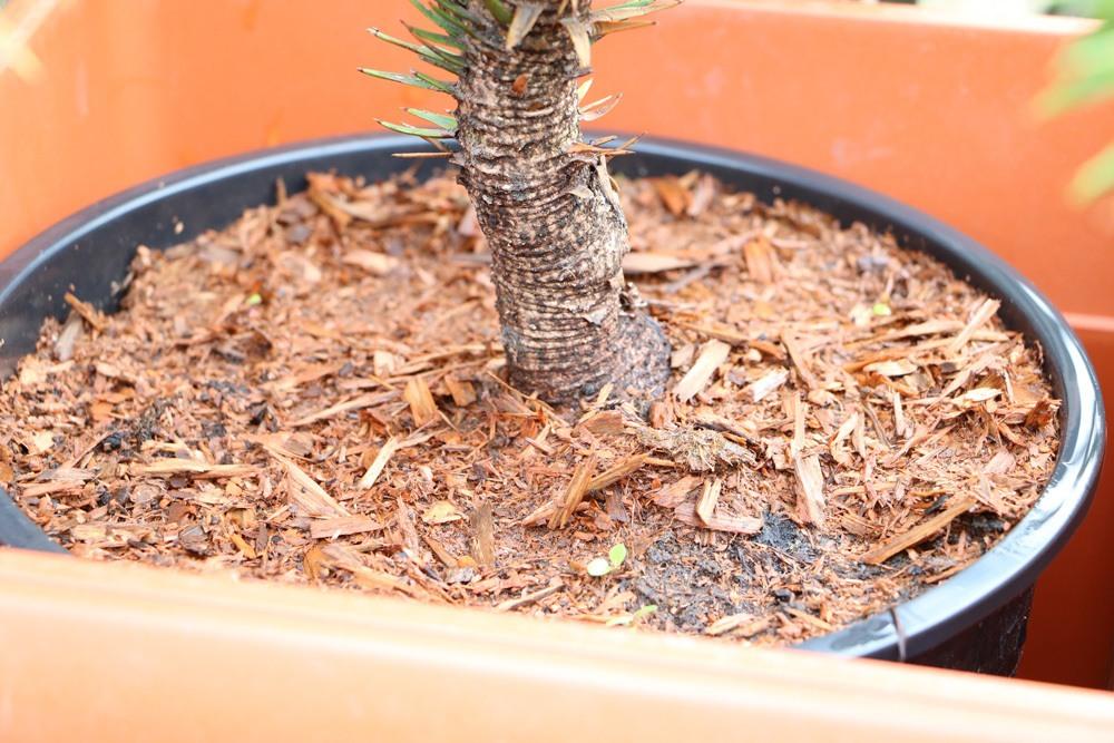 Chilenische Schmucktanne Araucaria Araucana