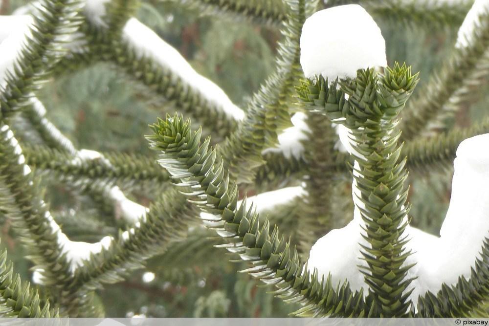 Chilenische Schmucktanne - Araucaria Araucana