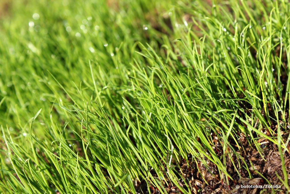 frisches Gras darf nicht zu früh gemäht werden