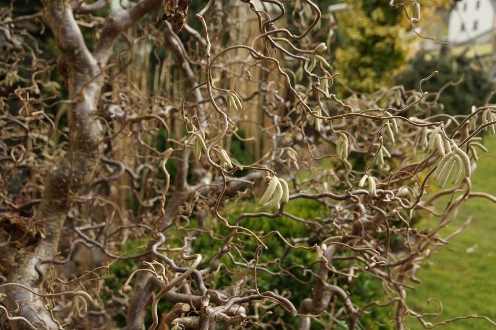 Korkenzieherhasel Corylus avellana 'Contorta'