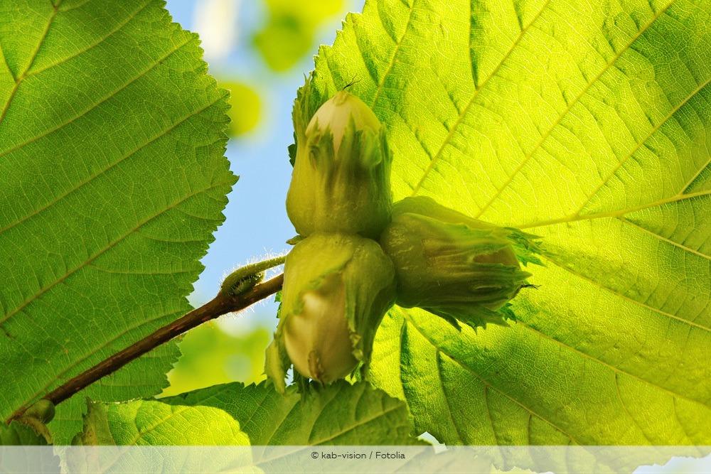 Korkenzieherhasel Früchte Haselnüsse
