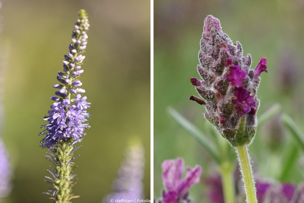 Lavandin Echter Lavendel Blüte