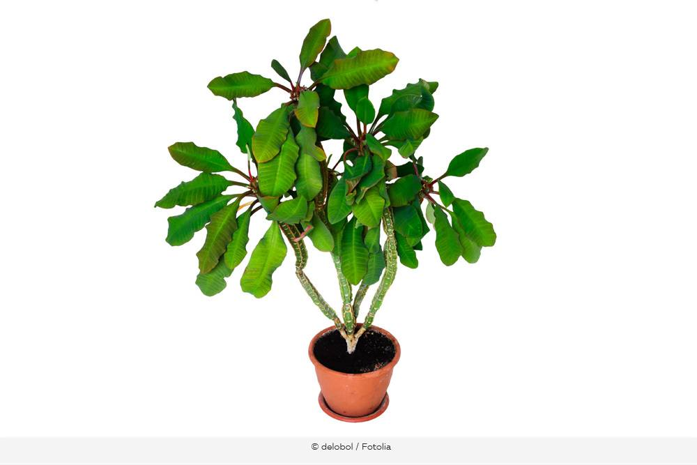 Spuckpalme Euphorbia Leuconeura