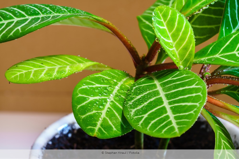 Feuchte Blätter der Spuckpalme