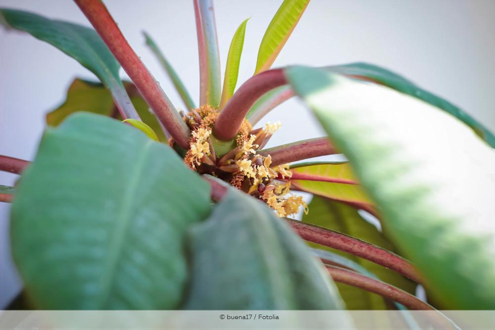 puckpalme Euphorbia Leuconeura