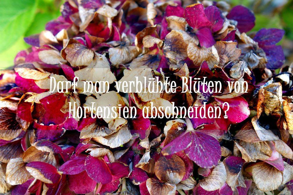Darf Man Verblühte Blüten Von Hortensien Abschneiden? Das