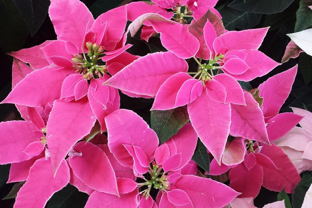 Weihnachtsstern Euphorbia Pulcherrima Rosa