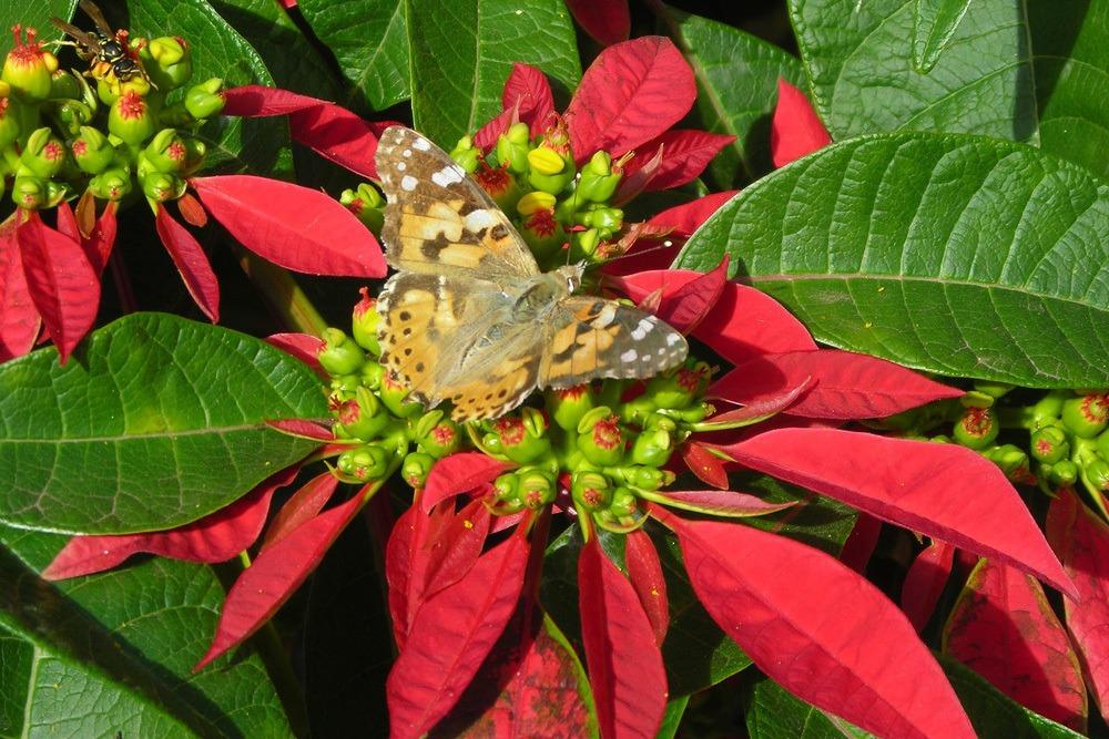 Weihnachtsstern Euphorbia pulcherrima Schmetterling