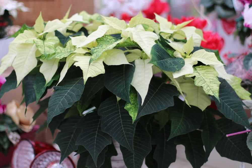 Weihnachtsstern Euphorbia Pulcherrima Hell