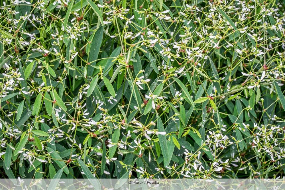 auberschnee Euphorbia graminea