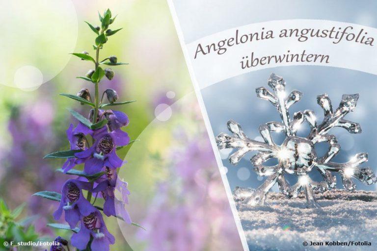Angelonia überwintern