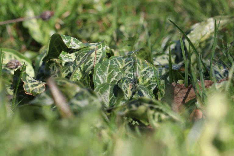 gefleckter Aronstab, Arum maculatum