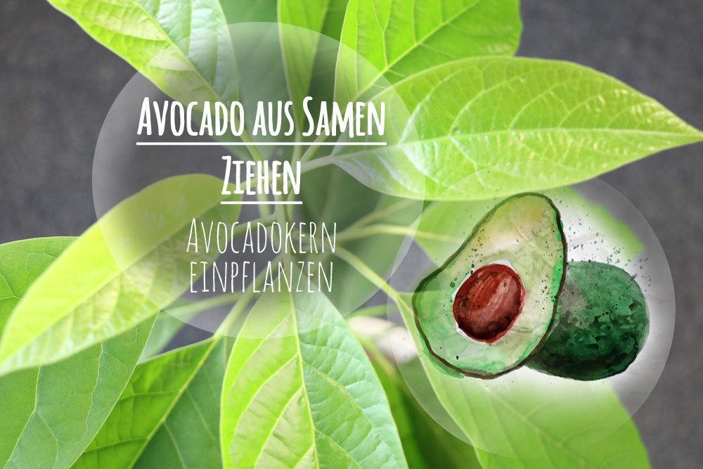 Avocado aus Samen ziehen | Avocadokern einpflanzen - so