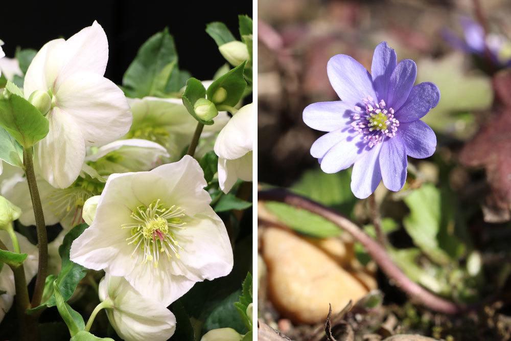 von links nach rechts: Christrose, Helleborus niger; Leberblümchen, Hepatica transsilvanica
