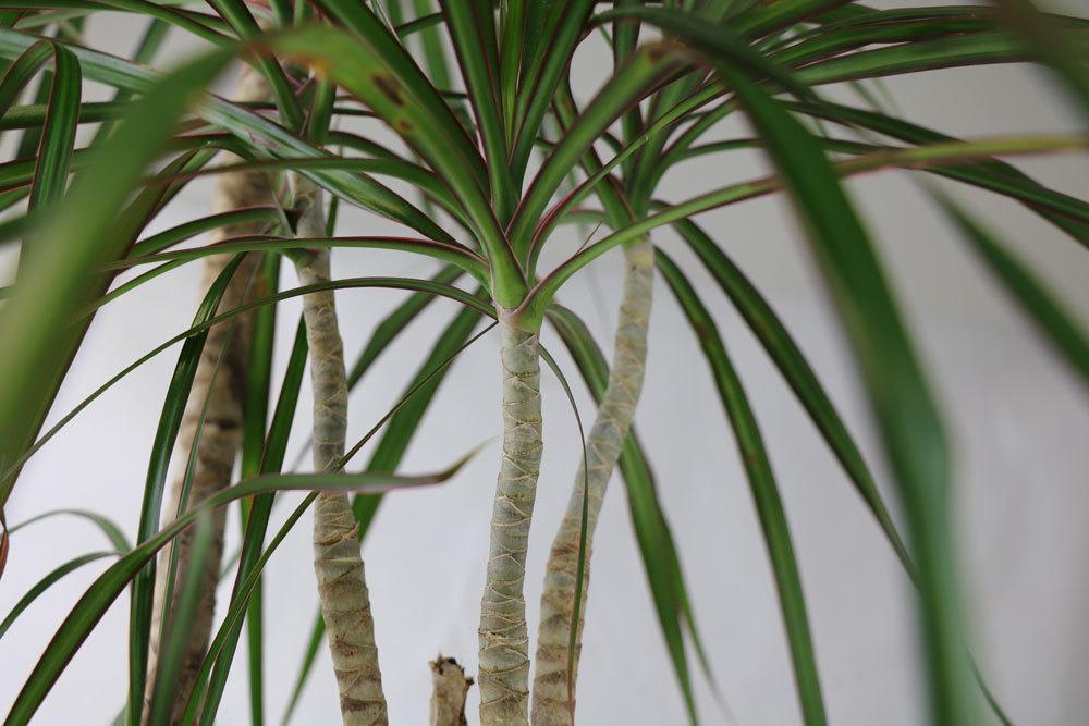Drachenbaum Schneiden Video : drachenbaum schneiden gekonnt k rzen und richtig versiegeln ~ Watch28wear.com Haus und Dekorationen
