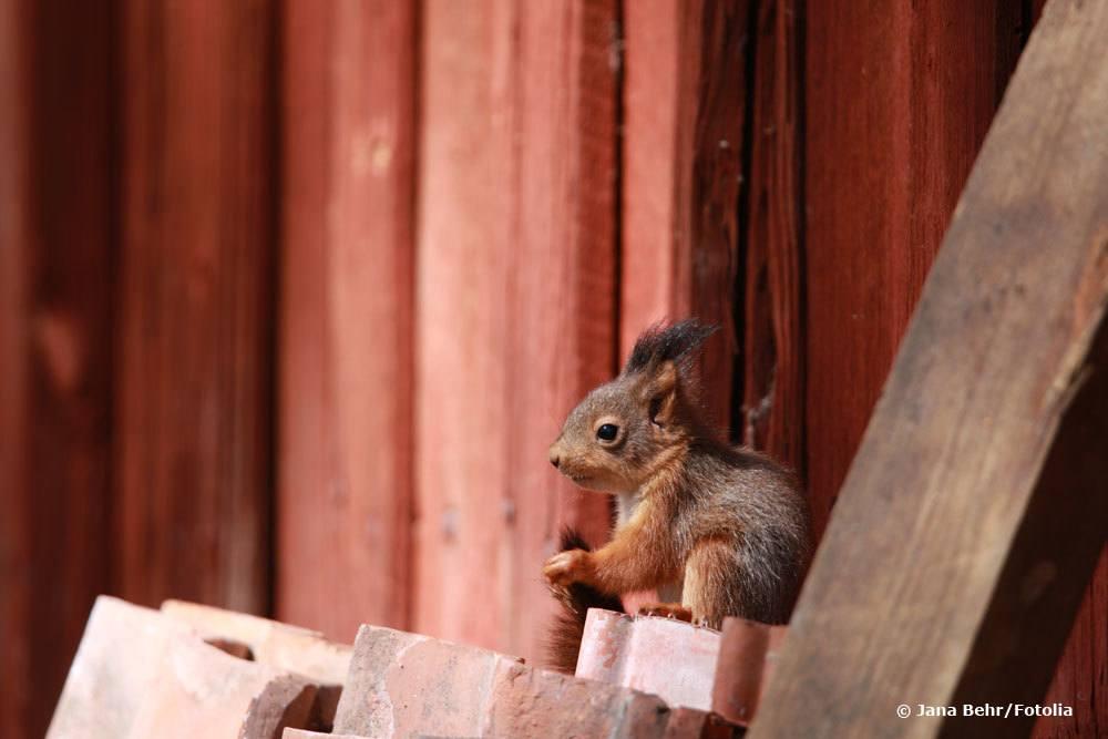 Eichhörnchenjunges